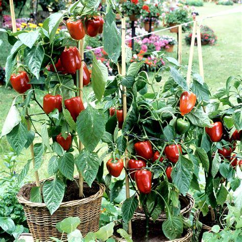 culture poivron en pot piment planter et cultiver ooreka