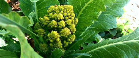 golden ratio plants math plants beauty experiencing the golden ratio and fibonacci sequence tyrant farms