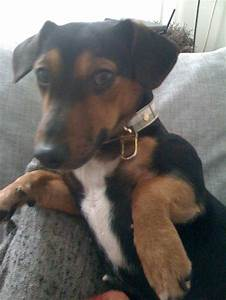Jack Russel, Black And tan jack Russell | Black Jacks ...