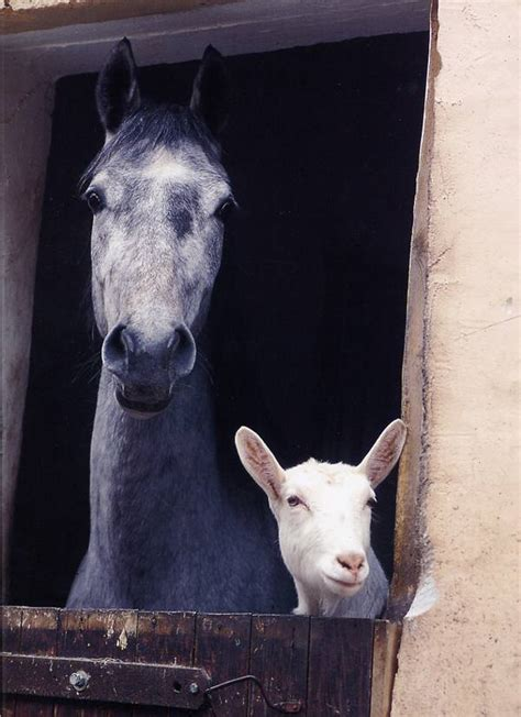 horse horses goat goats friends stall barn rest animals farm companion friendship mare horsekeeping books baby does friend triton systems