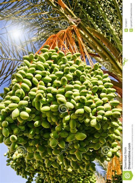 date palm  green unripe  royalty  stock