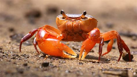 fiddler crab latest news indicators and assessments zoological society of london zsl
