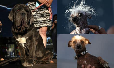 world s ugliest dog 2017 is martha see pics of neapolitan