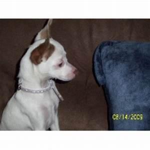 Blue Skies Toy Rat Terriers, Rat Terrier Breeder in ...