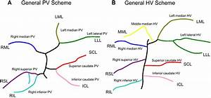 General Hepatic Vascular Anatomy In Rats  Schematic