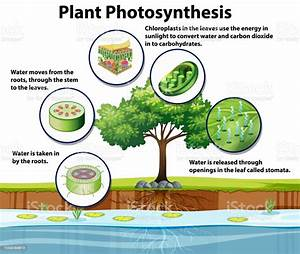 Diagram Showing Plant Photosynthesis Stock Illustration