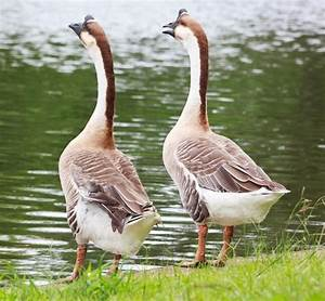 African Goose - Baby Waterfowl for Sale Cackle Hatchery