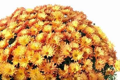 Autumn Orange Pot Chrysanthemums Isolated Background Colourbox