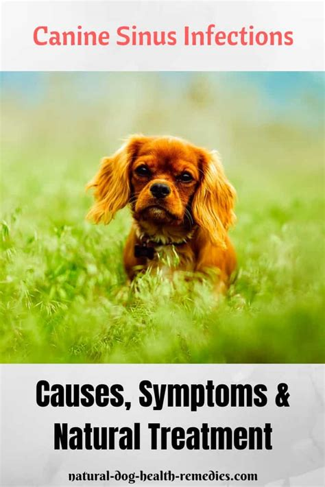 canine sinus infection symptoms   natural home