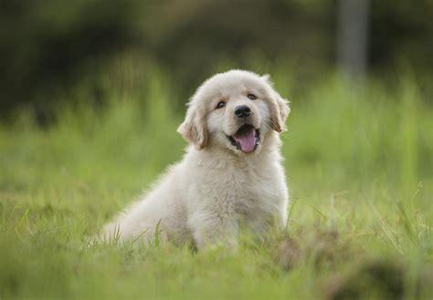 Golden Retriever Puppies For Sale Akc Puppyfinder
