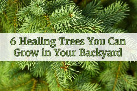 Can You A In Your Backyard by 6 Healing Trees You Can Grow In Your Backyard