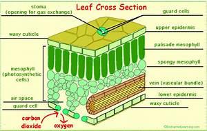 Leaves And Leaf Anatomy