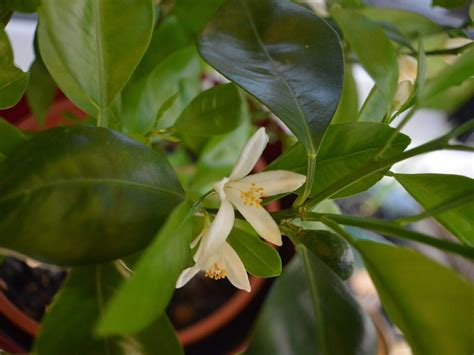 coltivare agrumi in vaso coltivare agrumi in vaso fioritura limoni vivaio scariot