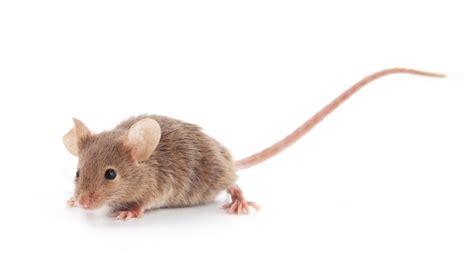 pictures of mice mice run wild in philadelphia philadelphia magazine