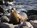 Columbia River Sea Lions - CRITFC