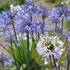 Graines D Agapanthe : les agapanthes rustiques cultiver aussi en pleine terre ~ Melissatoandfro.com Idées de Décoration