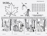 Maple Sugaring Syrup Coloring Drawing Making Evolving sketch template