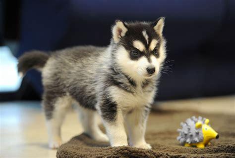 pomsky dog puppies pomskies breeds hybrid husky california northern puppy breeders breeder fluffy cute sells six rare woman pup liverpool