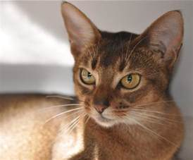abyssinian cat abyssinian cat breeders abyssinian kittens for
