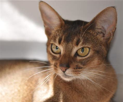 Abyssinian Cat Breeders  Abyssinian Kittens For Sale