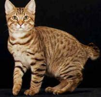 american bobtail cat cat breeds petfinder