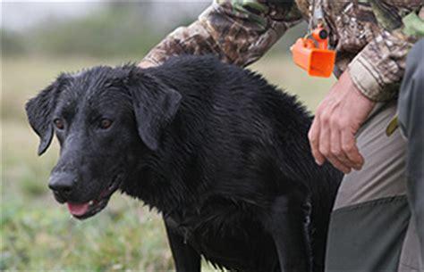 basic retriever training duck dogs duck dog trainer
