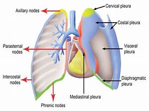 6  Pleura And Lung