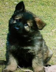 German shepherd puppy | German Shepherds | Pinterest