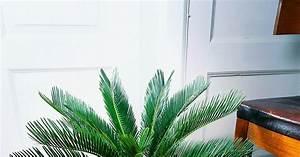 Feucht Werden Tipps : japanischer palmfarn sagopalmfarn sagopalme cycas ~ Lizthompson.info Haus und Dekorationen