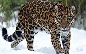Incredible Jaguar Pictures | Jaguar animal, Cat and Animal