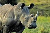 非洲黑犀牛 _排行榜大全