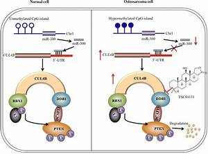 Schematic Diagram Of Crl4b Dcaf13 E3 Ligase In Human