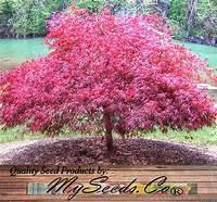 lace leaf maple Red Lace Leaf - ACER palmatum matsumurae Atropurpureum ...