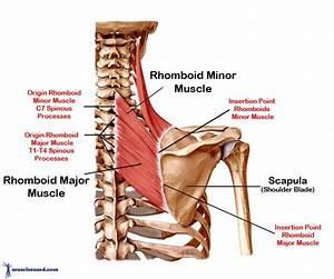 Anatomy Lecture 2- Shoulder Girdle