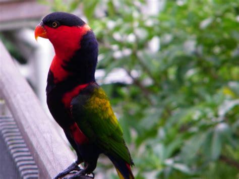 file lorius lory jurong bird park 8b jpg wikimedia commons