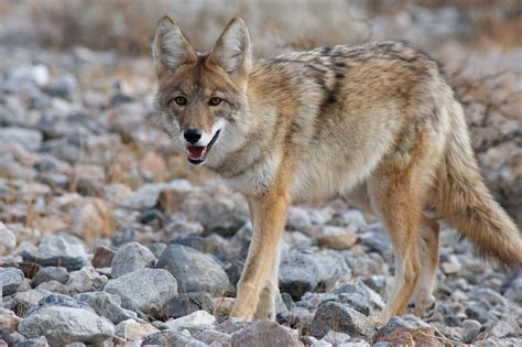 Images Of A Coyote Coyote Tips Dan Thompson Calls