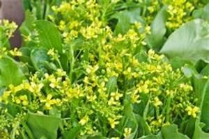 Meerrettich Blüht Was Tun : chinakohl anbauen sorten standort pflege mehr ~ Lizthompson.info Haus und Dekorationen