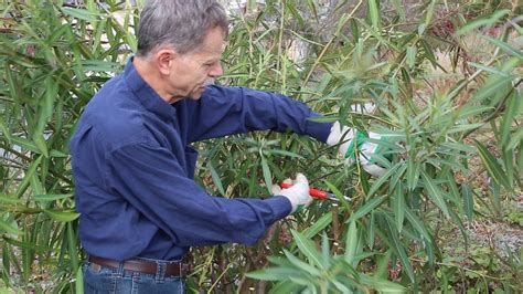 wie schneidet wie schneidet einen gro 223 en oleander