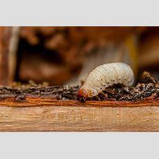 Holzwürmer Erkennen, Vorbeugen & Bekämpfen Plantura