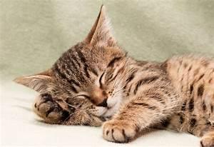 Was Brauchen Katzen : so viel schlaf brauchen katzen lindermanns tierwelt ~ Lizthompson.info Haus und Dekorationen