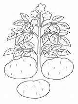 Potato Colorear Coloring Dibujos Patatas Colouring Dibujo Potatoes Template Ausmalbilder Kartoffel Sheet Roast Printable Chip Sweet Planta Papa Tortilla Mashed sketch template