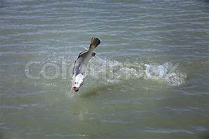 Big fish jumping out from water on river   Stock Photo ...