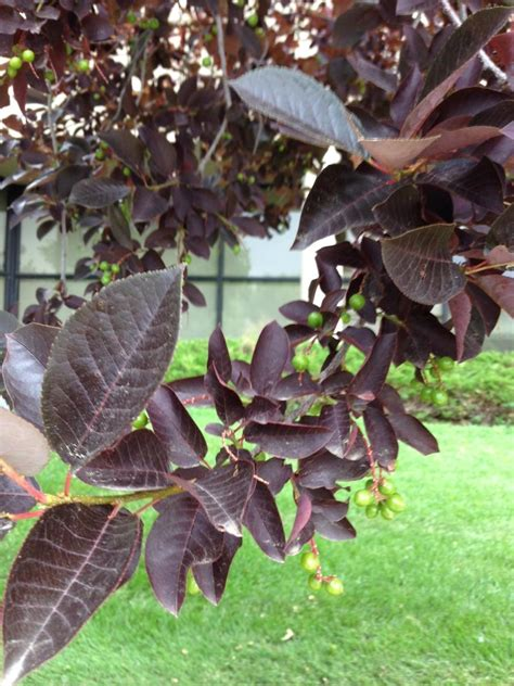 identification what is this small tree with purple leaves and small green fruits gardening