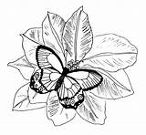 Coloring Butterfly Monarch Pages sketch template