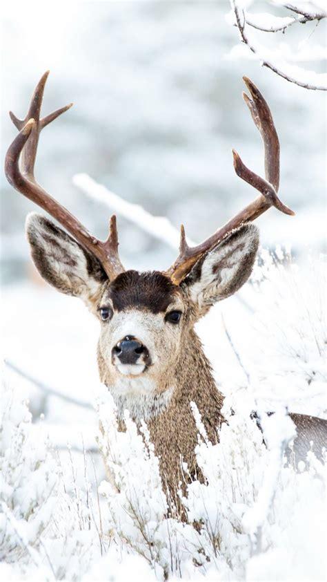deer winter snow  pure  ultra hd mobile