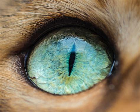 les captivantes macrophotographies doeil de chats dandrew