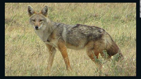 researchers propose  species african golden wolf cnn