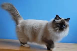 birman cat colours of the birman cat