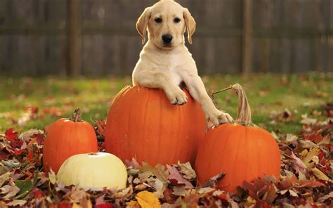 funny animal thanksgiving wallpapers top  funny