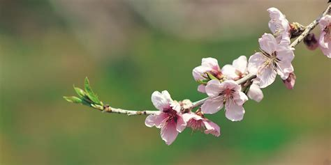 Cherry Blossom Tourism Makes Japan's Economy Bloom HuffPost